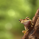 Rana di albero tropicale fotografia stock