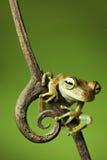 rana di albero tropicale della giungla sul ramoscello pronto a saltare   Immagini Stock