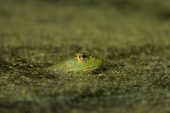 Rana di albero verde Immagini Stock