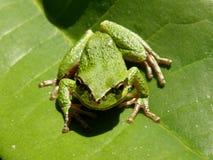 Rana di albero verde immagine stock
