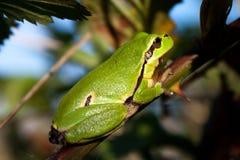 Rana di albero verde Fotografia Stock