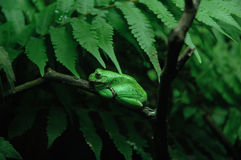 Rana di albero verde Fotografia Stock Libera da Diritti