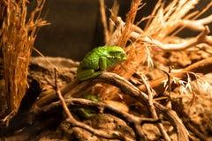 Rana di albero verde americana immagini stock