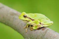 Rana di albero verde, arborea della hyla, sedentesi sulla paglia dell'erba con chiaro fondo verde Anfibio verde piacevole nell'ha fotografia stock