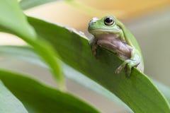 Rana di albero verde australiana Fotografie Stock