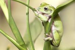 Rana di albero verde australiana Immagine Stock