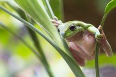 Rana di albero verde australiana Immagini Stock Libere da Diritti