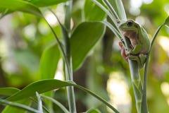 Rana di albero verde australiana Fotografia Stock