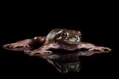 Rana di albero verde australiana, o fondo del nero di caerulea di Litoria Fotografia Stock Libera da Diritti
