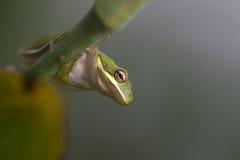 Rana di albero verde dell'Alabama - Hyla cinerea Fotografia Stock Libera da Diritti