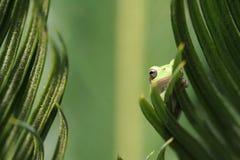 Rana di albero verde sul foglio Immagine Stock