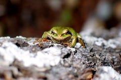 Rana di albero verde sulla corteccia sempreverde immagine stock