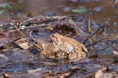Rana di erba europea o primo piano di accoppiamento di rana temporaria, fuoco selettivo, DOF basso fotografia stock