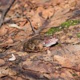 Rana di erba o maschio europea di rana temporaria nei colori di allevamento sul vecchio ritratto del primo piano delle foglie, fu fotografie stock libere da diritti
