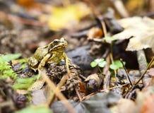 Rana di legno che si siede su un pavimento della foresta di autunno immagini stock libere da diritti
