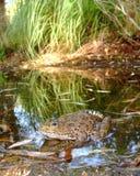 Rana di leopardo di Chiricahuan nel flusso del deserto Immagini Stock Libere da Diritti