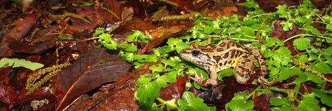 Rana di Pickerel (palustris del Rana) Fotografia Stock Libera da Diritti