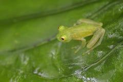 Rana di vetro del ` s di Fleischmann - fleischmanni di Hyalinobatrachium fotografie stock libere da diritti