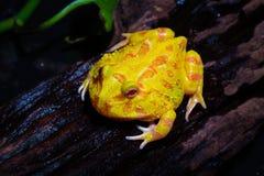 Rana dorata della rana cornuta del Surinam Fotografie Stock