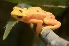Rana dorata panamense - zeteki di Atelopus Fotografie Stock