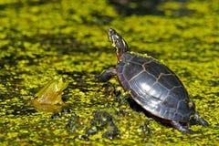 Rana e tartaruga Fotografie Stock