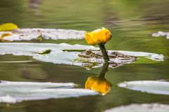 Rana en agua Imagen de archivo libre de regalías