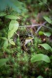 Rana en bosque Imagen de archivo libre de regalías