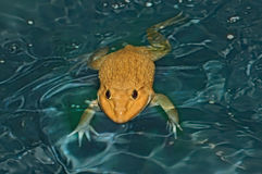 Rana en el agua Cara seria fotos de archivo