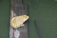 Rana en el agua en granja Fotografía de archivo libre de regalías