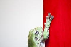 Rana en el fondo rojo y blanco Fotos de archivo libres de regalías