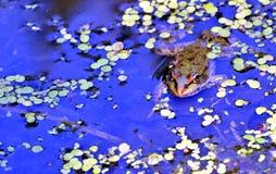 Rana en el lago, fotógrafo de observación Imagenes de archivo