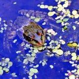 Rana en el lago, fotógrafo de observación Imagen de archivo