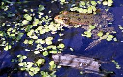 Rana en el lago, fotógrafo de observación Fotografía de archivo