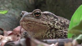 Rana en Forest Closeup, sapo que toma el sol en hojas, opinión macra de los animales en madera almacen de video