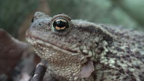 Rana en Forest Closeup, sapo que toma el sol en hojas, opinión macra de los animales en madera metrajes