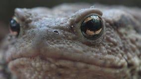 Rana en Forest Closeup, sapo que toma el sol en hojas, opinión macra de los animales en madera almacen de metraje de vídeo