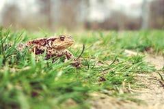 Rana en la hierba Fotografía de archivo libre de regalías