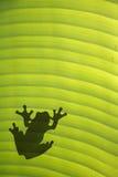Rana en la hoja Fotografía de archivo libre de regalías