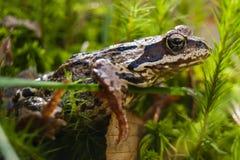 Rana en la princesa Frog del bosque foto de archivo