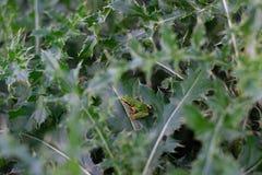 Rana en los arbustos fotografía de archivo