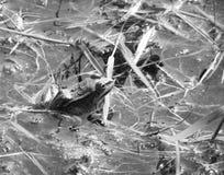 Rana en un agua Fotos de archivo