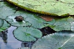 Rana en un lirio de agua Foto de archivo libre de regalías