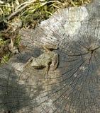 Rana en un tocón de árbol imagenes de archivo