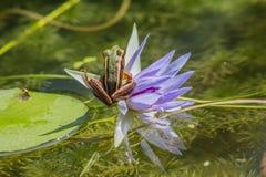 Rana en una flor de loto Fotografía de archivo libre de regalías