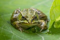 Rana esculenta - κοινός ευρωπαϊκός πράσινος βάτραχος Στοκ Εικόνες