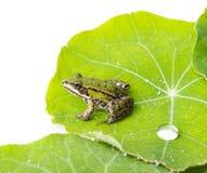 Rana esculenta - κοινός ευρωπαϊκός πράσινος βάτραχος Στοκ Φωτογραφίες