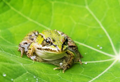 Rana esculenta - common european green frog Stock Photos