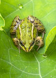 Rana esculenta - common european green frog Royalty Free Stock Image