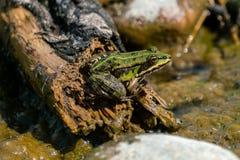 Rana esculenta- common water frog sunbathing on driftwood royalty free stock images