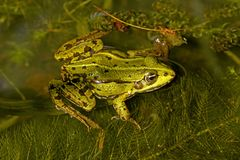 Rana esculenta - Edible frog Stock Photos